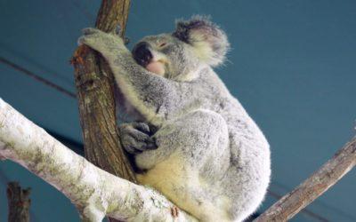 Koala im Australia Zoo, Beerwah, Australien